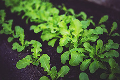 What's the Difference between Hydroponics and Aquaponics - example of healthy plants