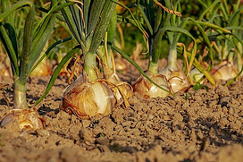 vegetable-gardening-in-canada-vegetable-garden- row of onions in garden